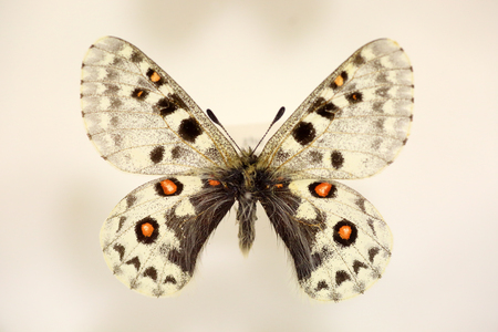 The banded Apollo (Parnassius delphius) isolated Stock Photo
