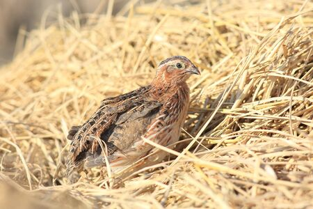 Japanese quail (Coturnix japonica) male in Japan