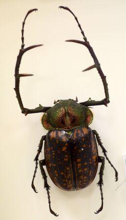 長武装スカラベ (Cheirotonus peracanus) オス単離 写真素材
