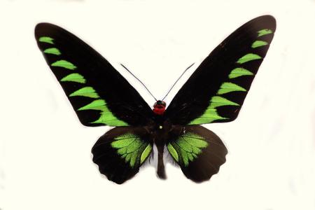 パラワン ・ ラジャ ・ ブルックのトリバネチョウ (Trogonoptera brookiana) 分離