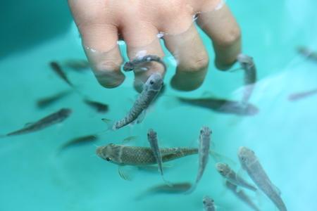 Doctor fish (Garra rufa)