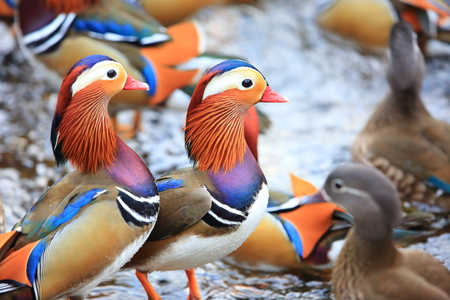 Mandarin duck (Aix galericulata) in Japan