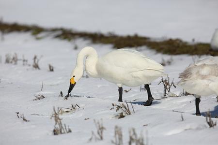 Tundra swan (Cygnus columbianus) in Japan Stock Photo