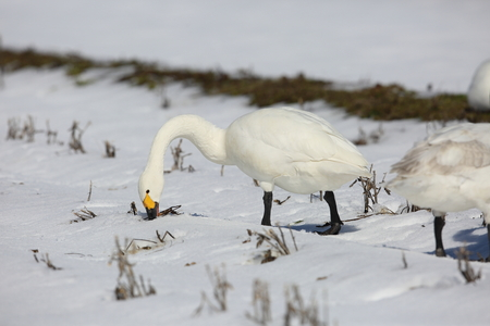 Tundra swan (Cygnus columbianus) in Japan Banque d'images