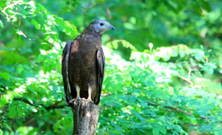 Oriental honey-buzzard (Pernis ptilorhyncus) in Japan