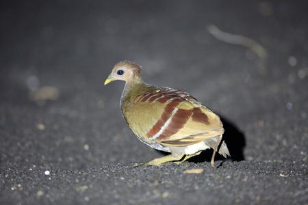 Moluccan scrubfowl (Megapodius Eulipoa wallacei or wallacei) in Halmahera Island, Indonesia 写真素材