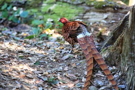 Copper Pheasant (Syrmaticus soemmerringii ijimae) male in South Kyushu, Japan Standard-Bild