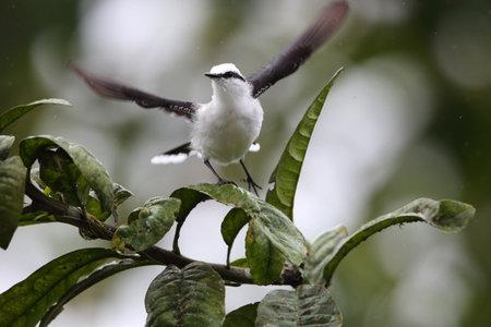 Masked water tyrant (Fluvicola nengeta) in Equador