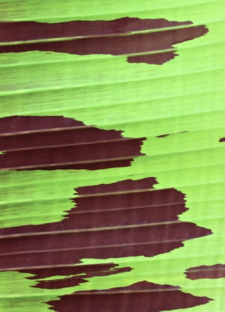 Banana leaf in red and green color, Can be used as background Stock Photo - 12965376