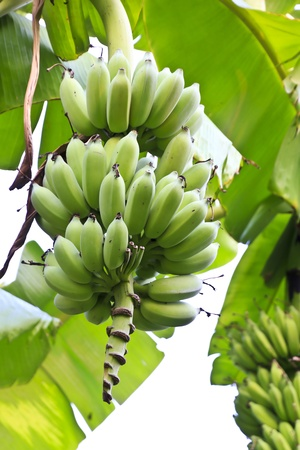 Bunch of unripe cultivated bananas on the banana plant photo