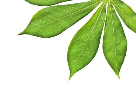 Fresh cassava leaf isolated on white background
