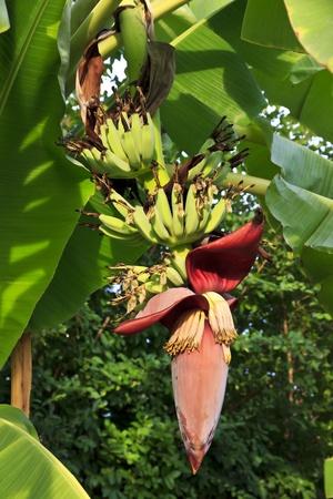 Banana flower and bunch hanging on banana tree  photo