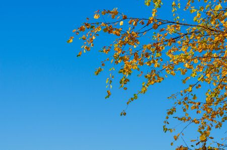 Birch branches with yellow-orange leaves on a background of blue sky. Autumn