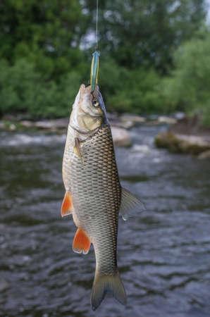 chub: Chub fish on hook