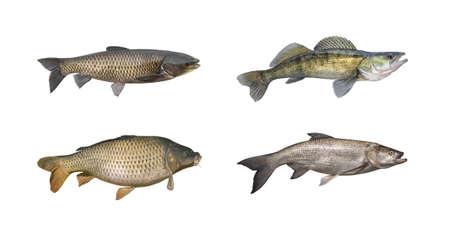 asp: Carp, sander, amur, asp fish set isolated on white Stock Photo