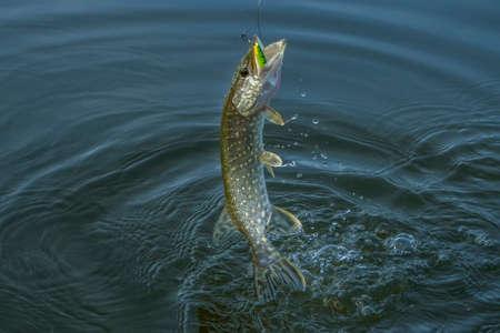 パイクの魚スプラッシュ水でジャンプします。釣りの背景 写真素材