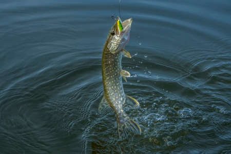 Pike fish jumping in water with splash. Fishing background Stockfoto