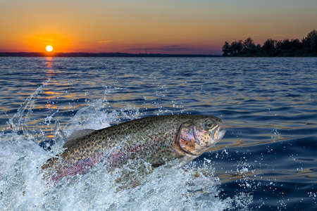 Trout fish jumping with splashing in water Stock fotó