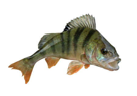 Perch fish trophy isolated on white background