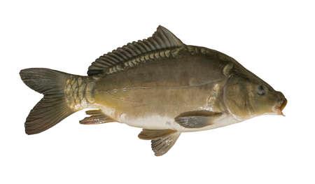 흰색 배경에 고립 된 미러 잉어입니다. 물고기 트로피