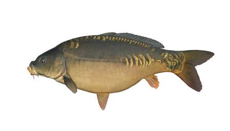 鏡鯉は、白で隔離。魚トロフィー