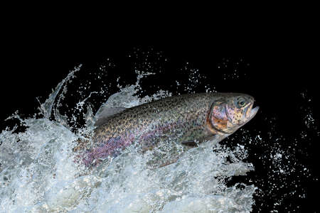 Trout fish jumping with splashing in water 版權商用圖片