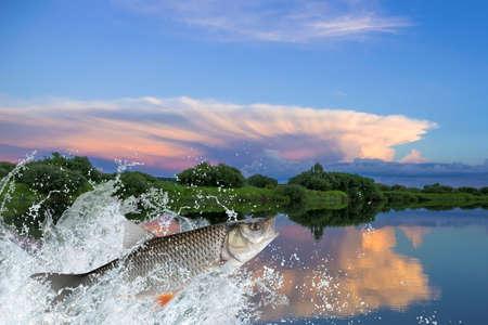 asp: Chub fish jumping with splashing in water