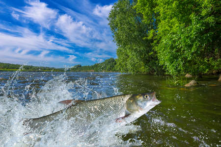 asp: Asp fish jumping with splashing in water Stock Photo