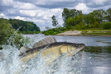 Zander poisson sautant avec des éclaboussures dans l'eau Banque d'images