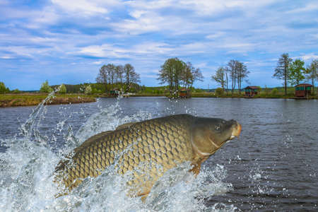 Carp fish jumping with splashing in water