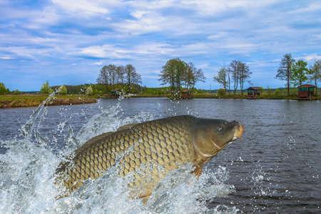 잉어 물고기가 물에서 튀는 함께 점프