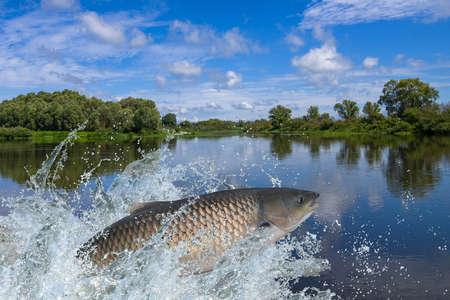 물에서 튀는 함께 점프 아무르 또는 잔디 잉어 물고기