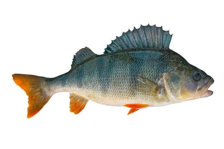 trophée poisson perche isolé sur fond blanc
