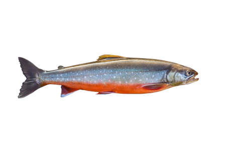 Arctic char fish isolated on white background Stok Fotoğraf