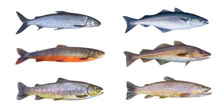 Norway fish set. Whitefish, arctic char, brook brown trout, pollock fish, coalfish, saithe, cod fish isolated on white background Imagens