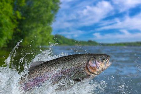 Angeln. Regenbogenforellenfisch, der mit Spritzen im Wasser springt Standard-Bild