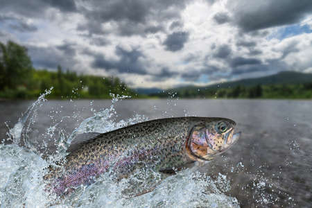 Fishing. Rainbow trout fish jumping with splashing in water
