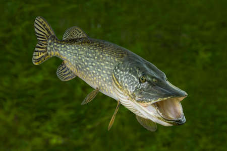 Fishing. Big live pike fish isolated on natural green background