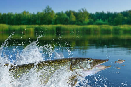Fishing. Big pike fish jumping with splashing in water