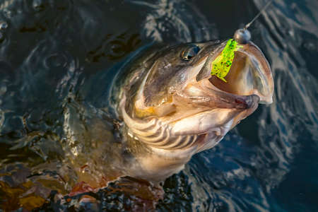 Fishing. Caught perch fish trophy in water. Reklamní fotografie