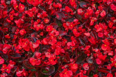 Design of flower bed by red flowers. Plant pattern texture.
