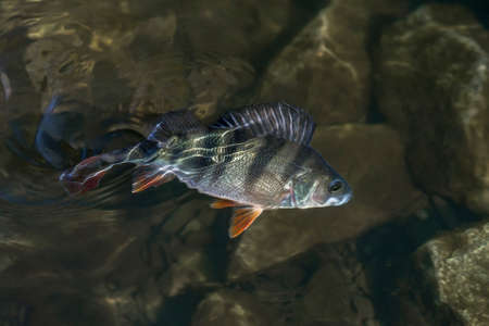 Perch fish trophy in water. Fishing background