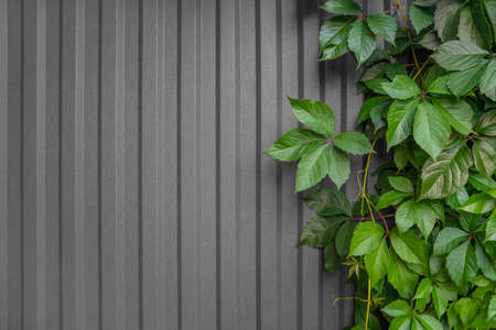 Live hedge from Maiden (Girlish) grapes. Green plants on a gray fence. Parthenocissus inserta Фото со стока - 122685713