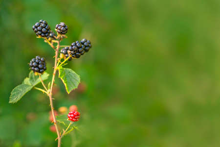 Forest Blackberry growing on bush. Berries on blurred natural green background