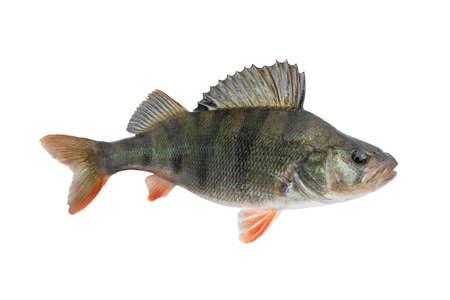 Pesce persico. Trofeo dal vivo isolato su sfondo bianco. Perca fluviatilis