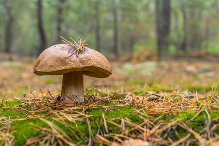 Edible boletus mushroom and knife in forest. Porcini on moss