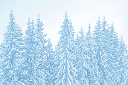 Winter mountains landscape. Toned background of snow covered christmas trees