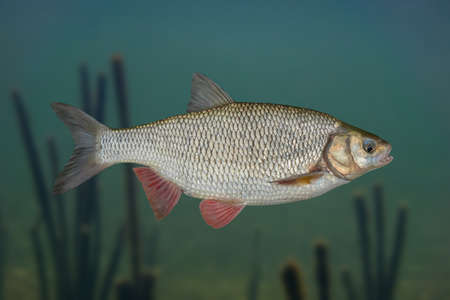 Ide fish isolated on natural underwater background Banco de Imagens