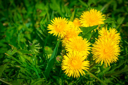 Yellow dandelion. Bright flowers dandelions on background of green spring meadow.