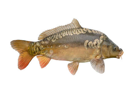 Fresh alive mirror carp fish isolated on white background